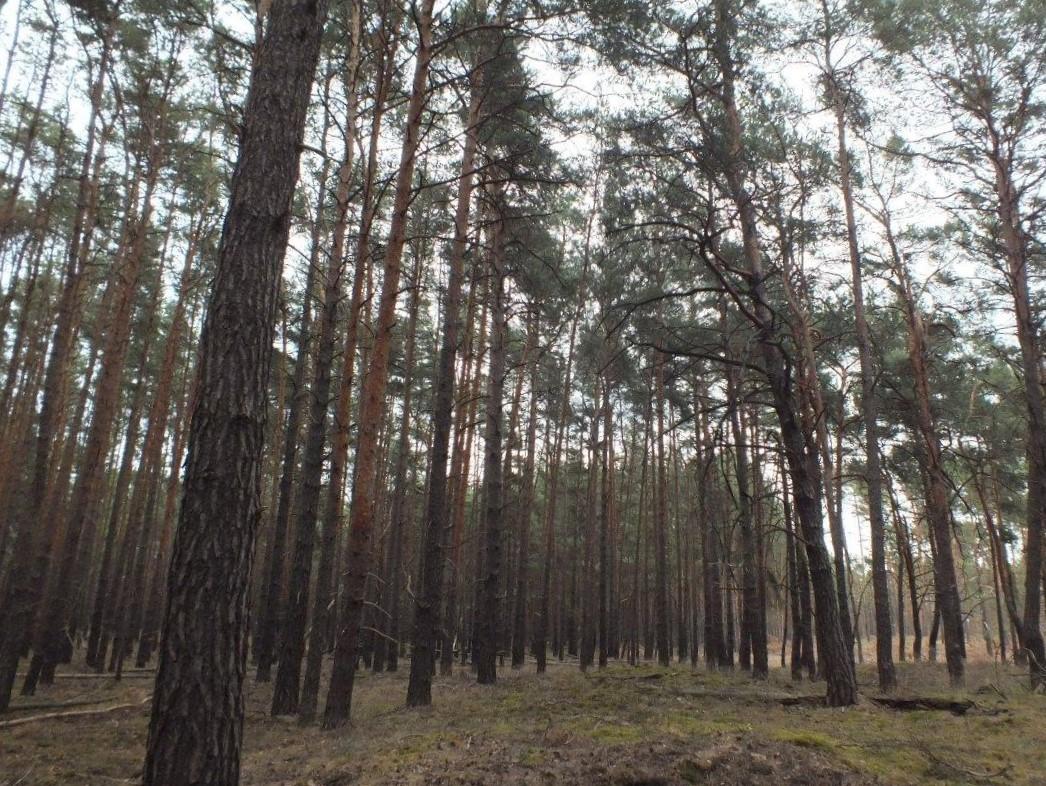 Kiefernwald nördlich der A 12 **ca. 25 km von der Berliner Stadtgrenze entfernt**