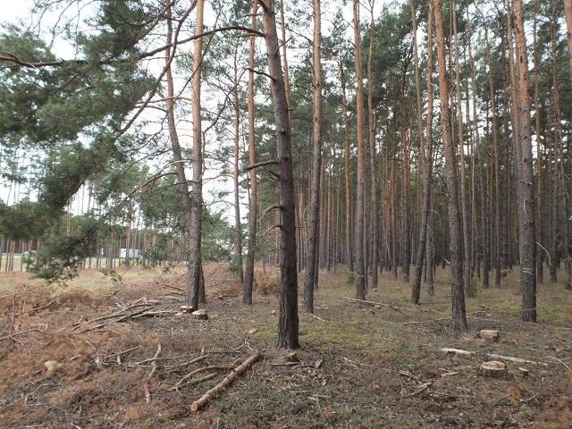 Teilweise mit Kiefern bewachsener Grundstücksstreifen an der A12 ca. 20 km von der Berliner Stadtgrenze entfernt